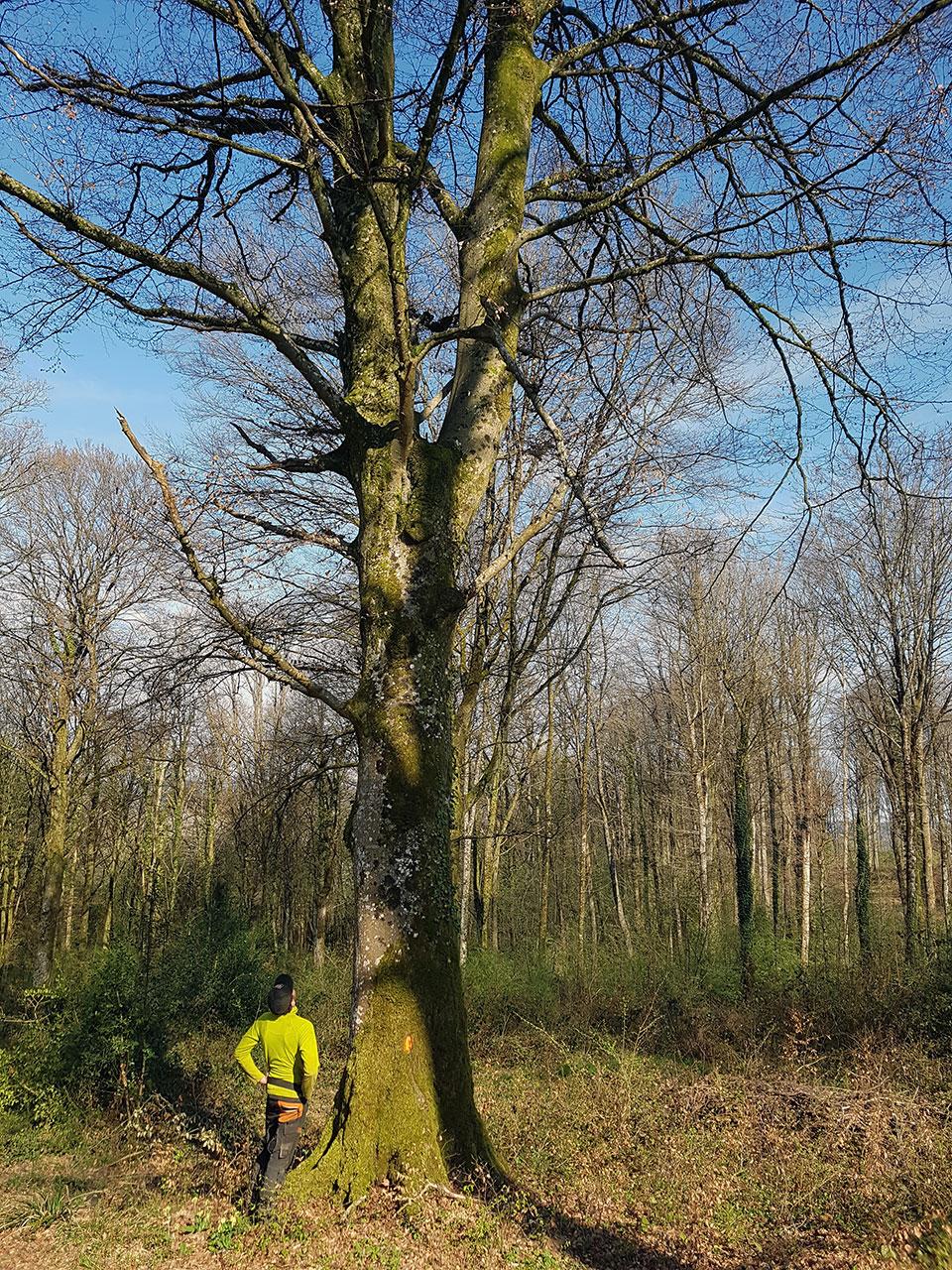 Abattage transthom transport elagage d montage taille abattage arbres bois de - Arbre fruitier comme bois de chauffage ...